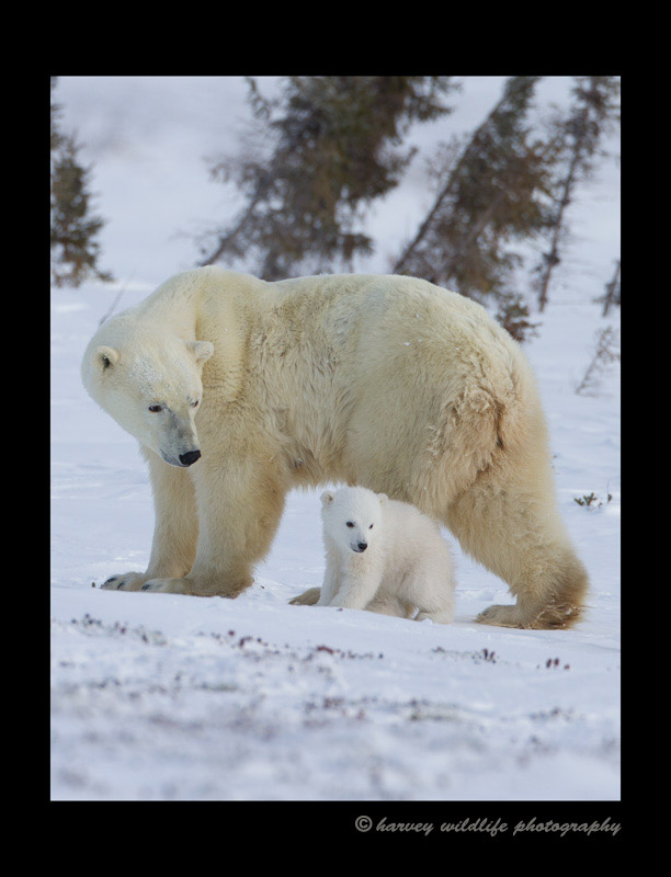 Picture of a polar bear mom and cub walking in Wapusk Natinonal Park.