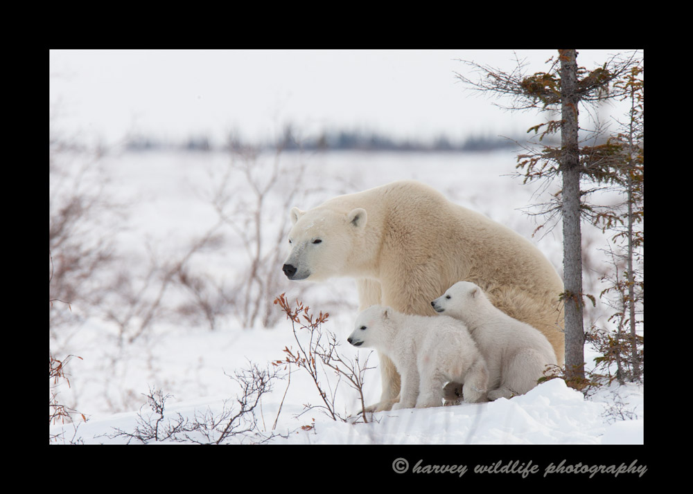 mom-and-cubs-11