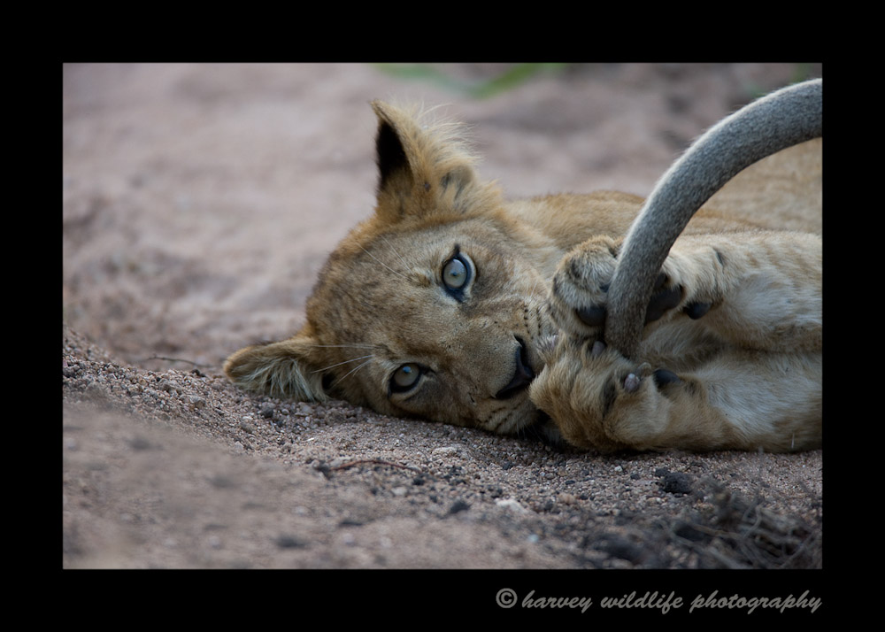 This lion cub is bored as the lion pride rests during the heat of the day. Mom's tail is swatting away flys, so the baby enjoys a good game of {quote}catch mom's tail{quote}.