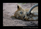 "This lion cub is bored as the lion pride rests during the heat of the day. Mom's tail is swatting away flys, so the baby enjoys a good game of ""catch mom's tail""."