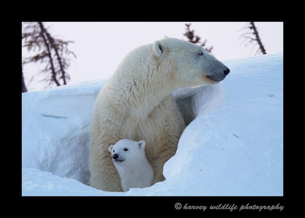 mom_and_cub_den_2014a
