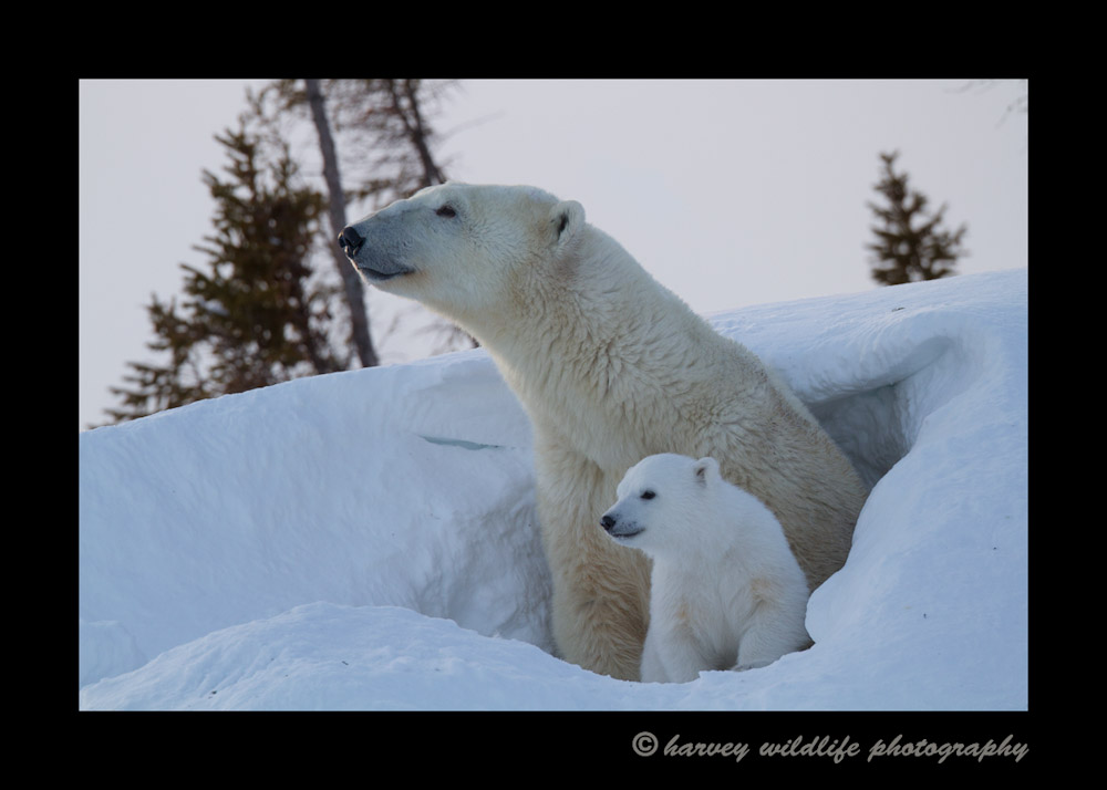 mom_and_cub_den_2014b