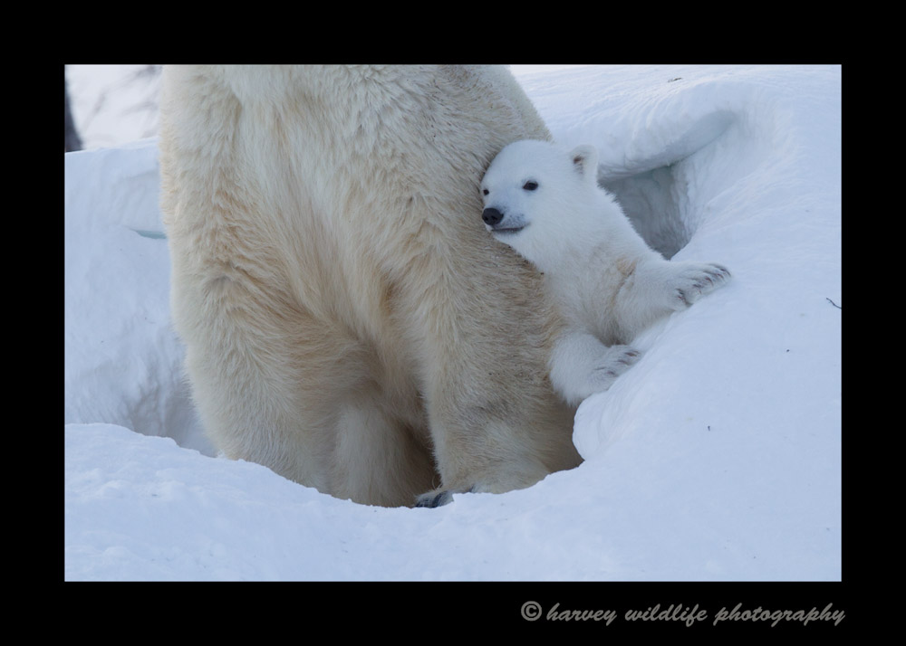 mom_and_cub_den_2014c