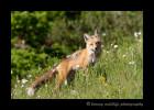 momma-fox