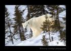 Mother Polar Bear