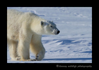 mother_polar_bear_wapusk_national_park