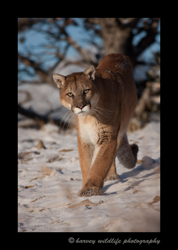 Charlie is a wildlife mountain lion living in Montana.