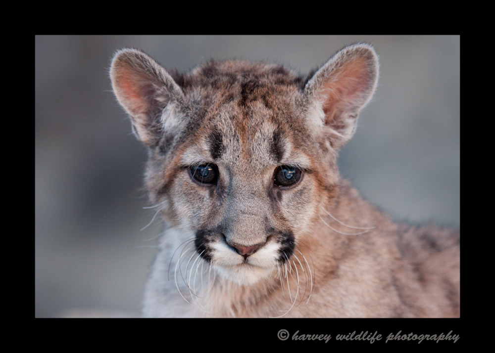 This mountain lion cub is a wildlife model.
