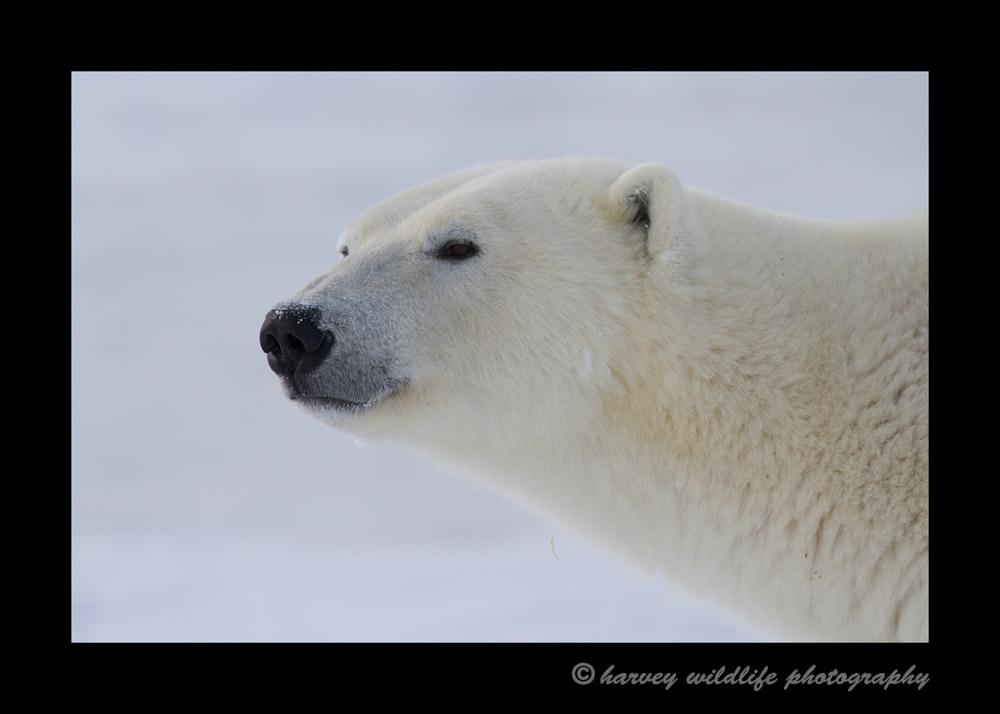 p_bear_2013