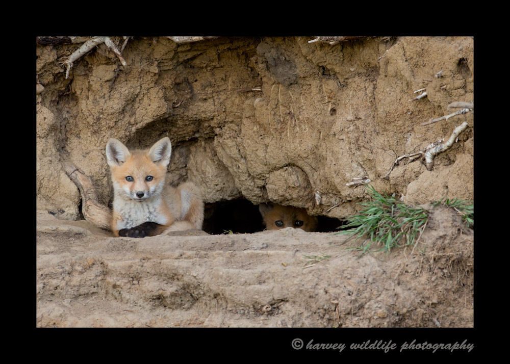 One of the fox kits relaxed at the den opening as another kit peeks out first before joining his/her sibling.
