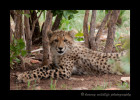 six month old cheetah cub