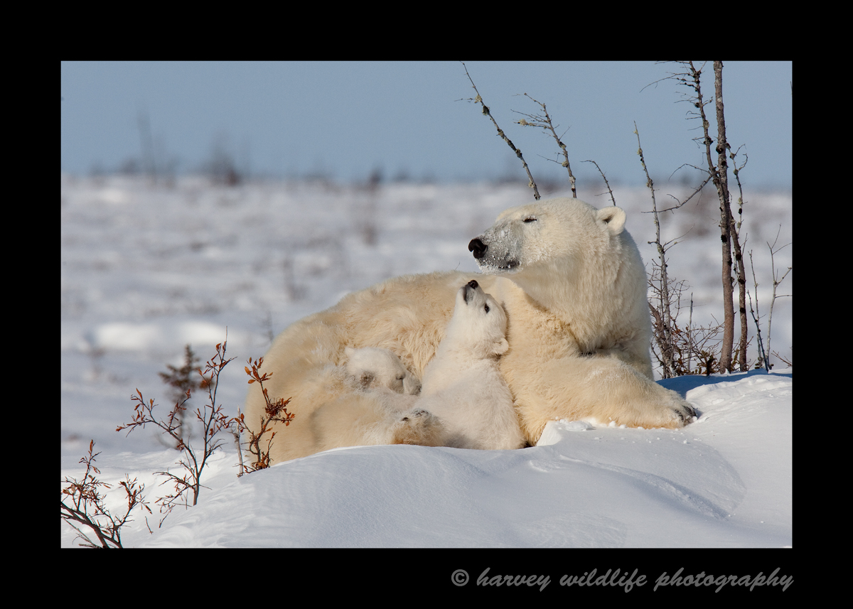 A polar bear cub looks up at mommy with pure adoration.