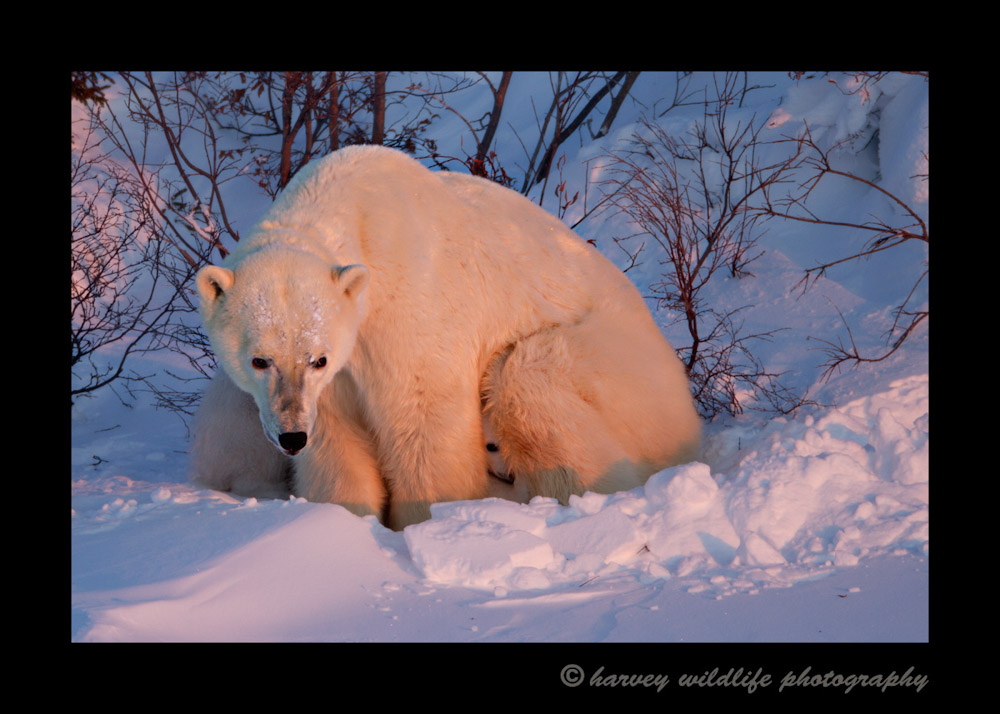 polar-bear-and-cubs-at-dusk-12