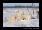 Picture of polar bear cub on mother