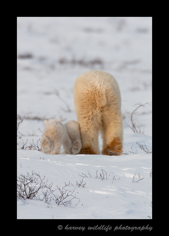 Picture of polar bear mom and cubs on their way to Hudson Bay.
