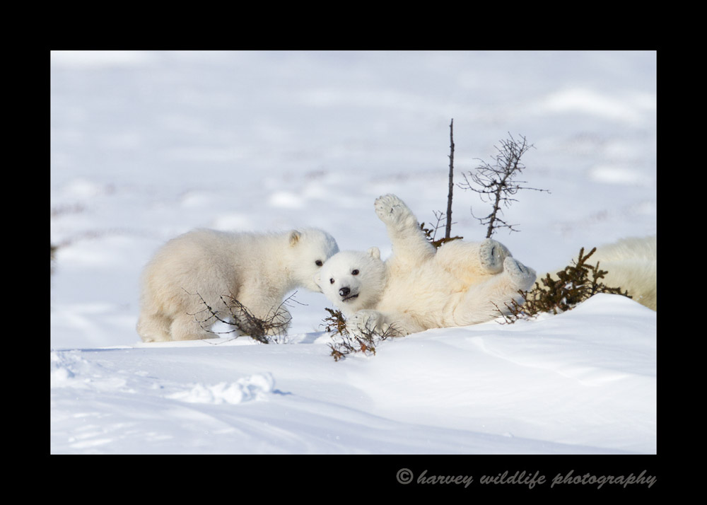 This polar bear baby is really clumsy. They were trying to run to their mommy, but the one in the front wiped out and rolled into a small brush.