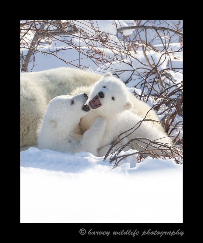 WIldlife babies of most wildlife species can be quite playfull and these two polar bear cubs are no exception.
