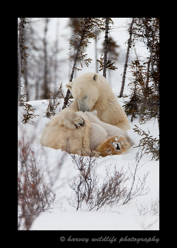 The polar bear family stops for a short nurse, a nap, a short play, then will continue on their journey to the Hudson Bay.