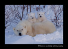 These cute little polar bear babies stop playing briefly as their curiousity got the better of them. I think they were wondering what the shutter relase sounds were, so they stopped what they were doing and stared at us.