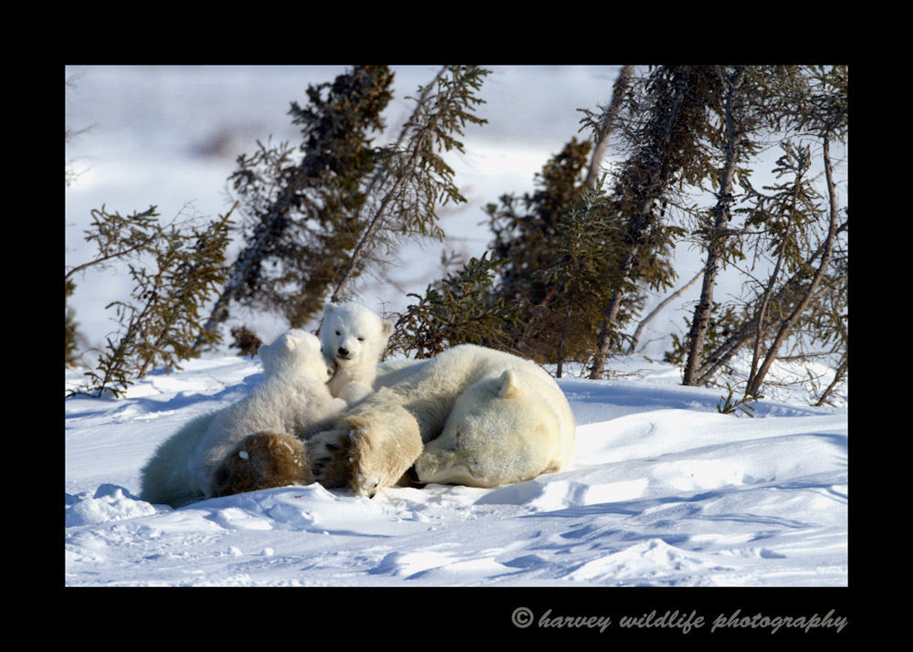 polar-bear-cubs-snuggling-on-mom-12