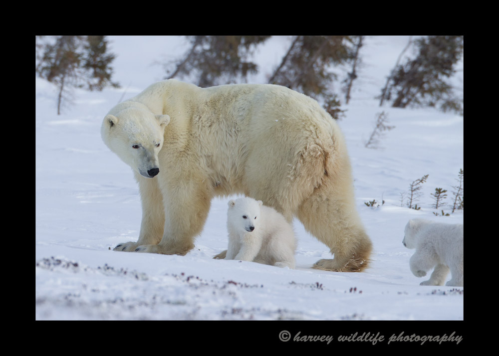 Mom waits as her polar bear babies scamper to catch up to her.