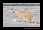 Polar bears on the move on their way to Hudson Bay.
