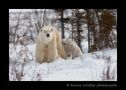 Polar bear family on their way to Hudson Bay