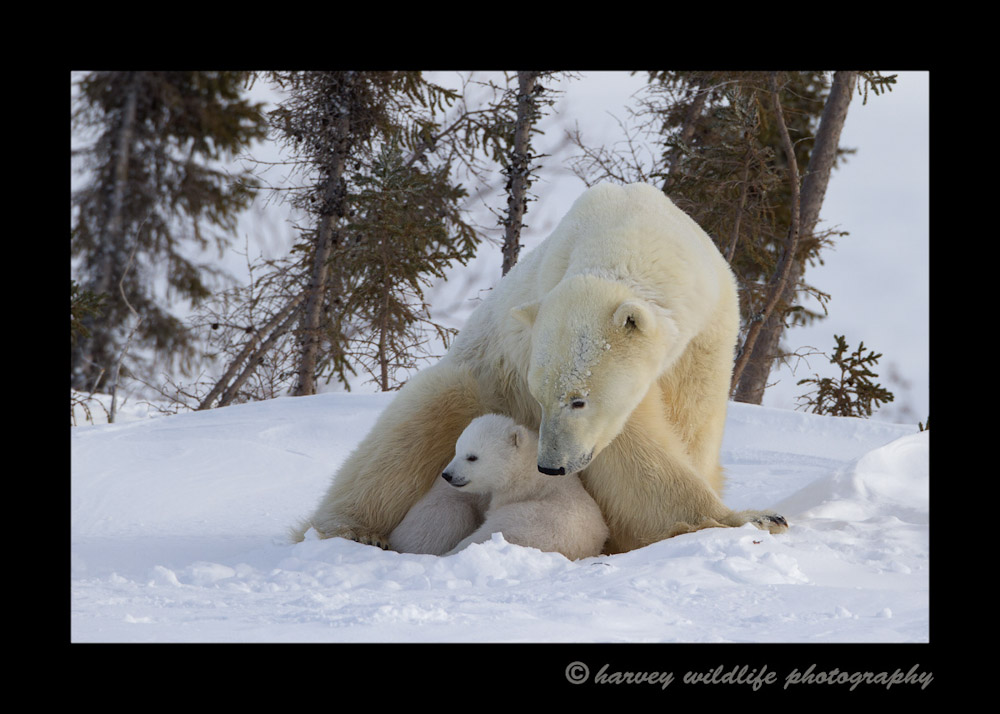 Polar bear mom and cub 12