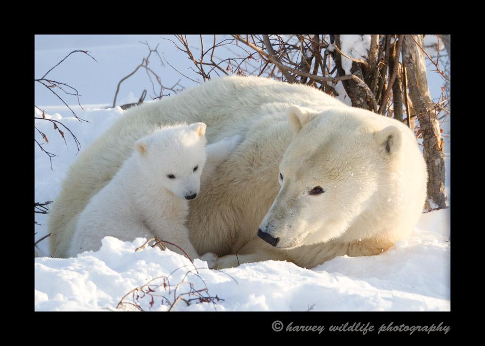 polar-bear-mom-and-cub-12