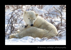 Picture of a polar bear mom and cub in brush. Polar bear photo by Harvey Wildlife Photography.
