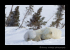 There are actually two polar bear cubs in this picture. The second cub is warmly tucked against her mother's tummy underneath her legs.