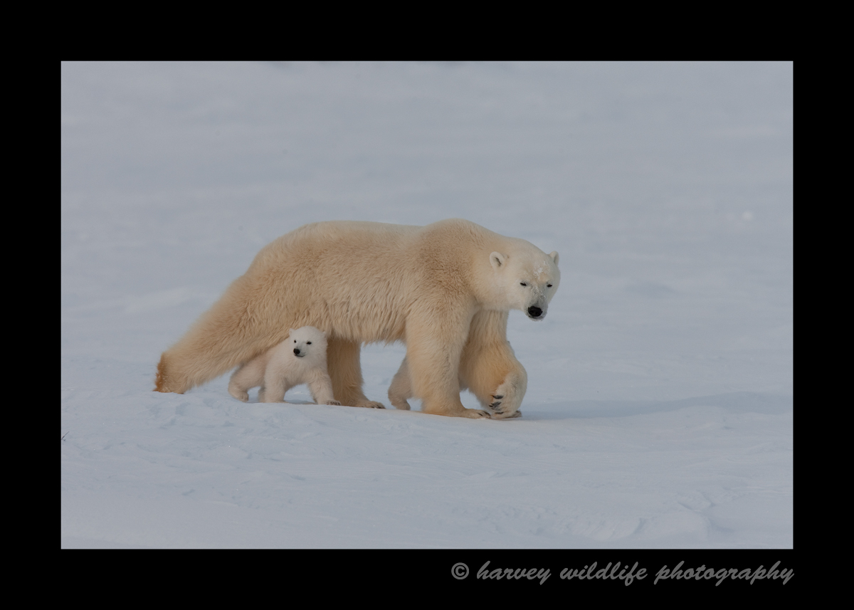 Polar bear mom and cub walking