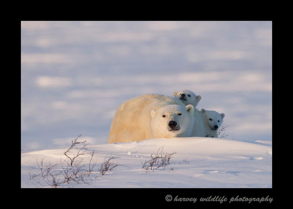 Polar bear cubs peek at us around mom.