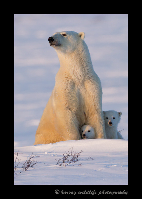 Polar Bear Moma and Cubs Sitting.