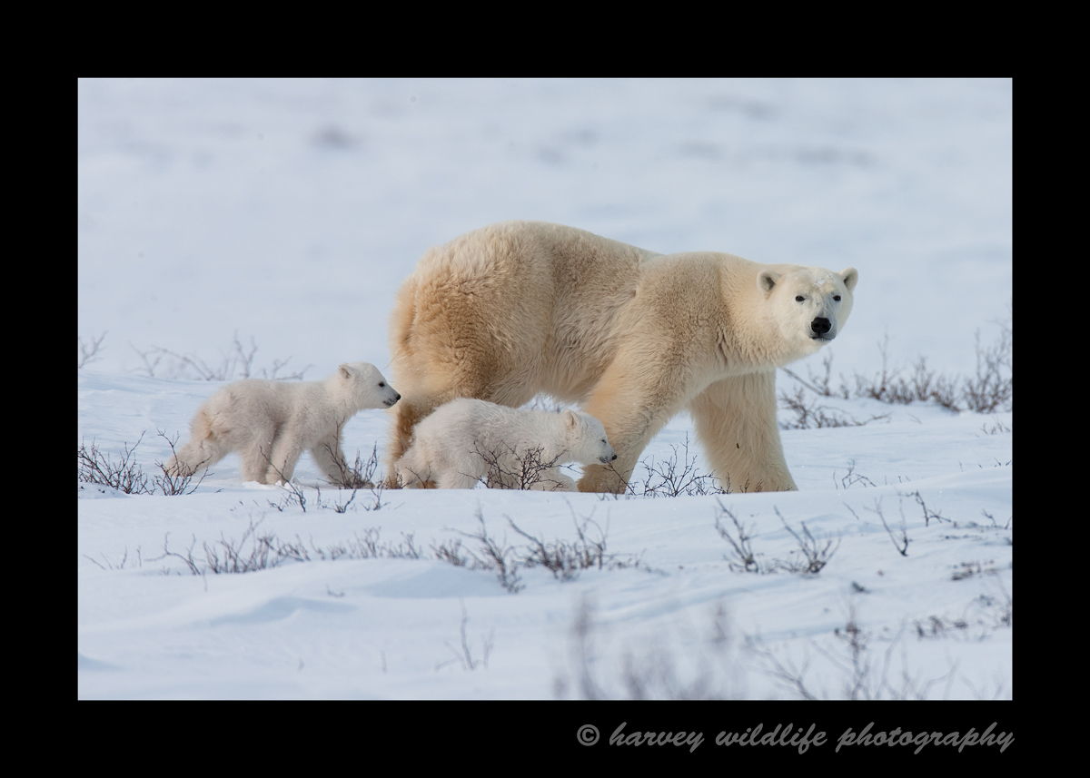 Picture of a polar bear mom and cubs walking in Wapusk National Park, Manitoba, Canada, 2010.