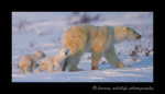 This polar bear family starts the next leg of their journey on their way to Hudson Bay.