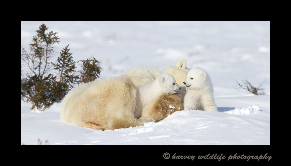 Polar bear cubs are usually either playing, fighting, sleeping or eating. These two cubs take a small break before tearing into one another again.