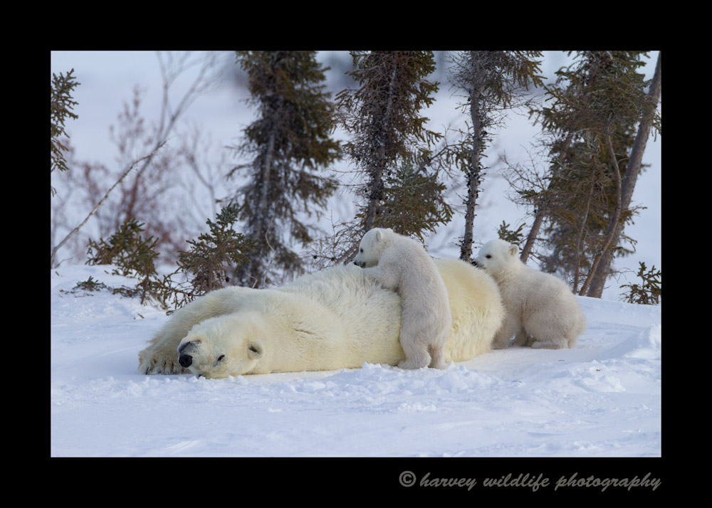 This female polar bear has been in a den for several months, so when she comes out she likes to roll and rub in the snow. I think it is a combination of scratching an itch and cleaning herself. One of her babies can't resist temptation and goes for a ride.