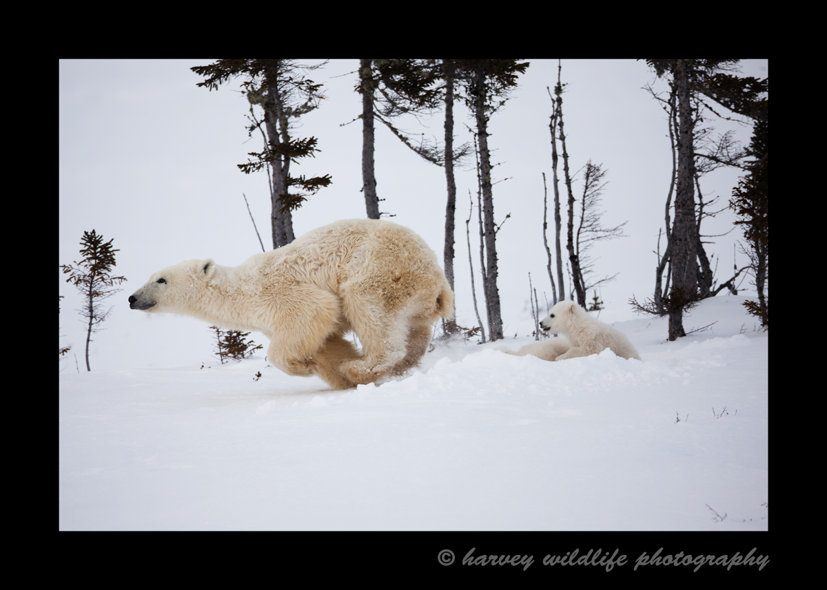 This polar bear mom has decided that she has had enough of the photographers, so she runs away.