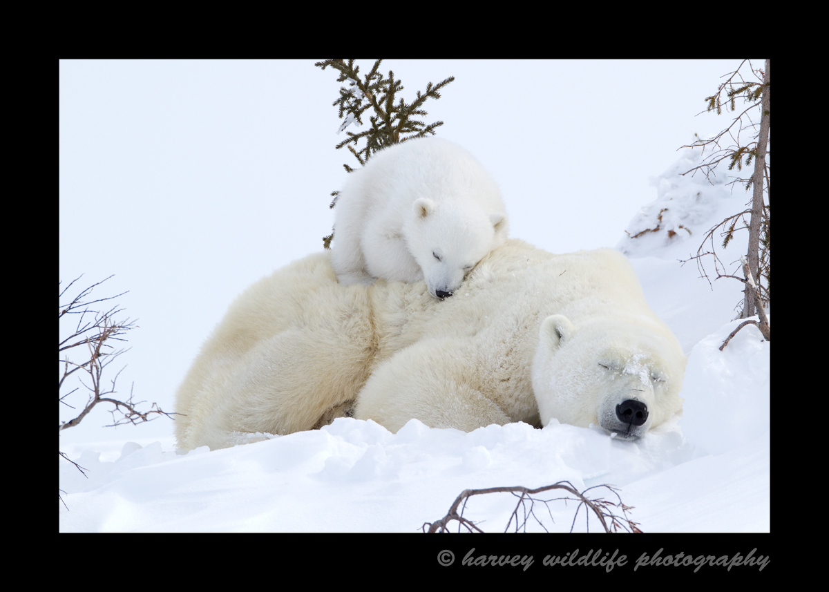 Picture of a polar bear cub sleeping on her mother