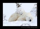 This tired polar bear cub tries to get comfy on her mommy.