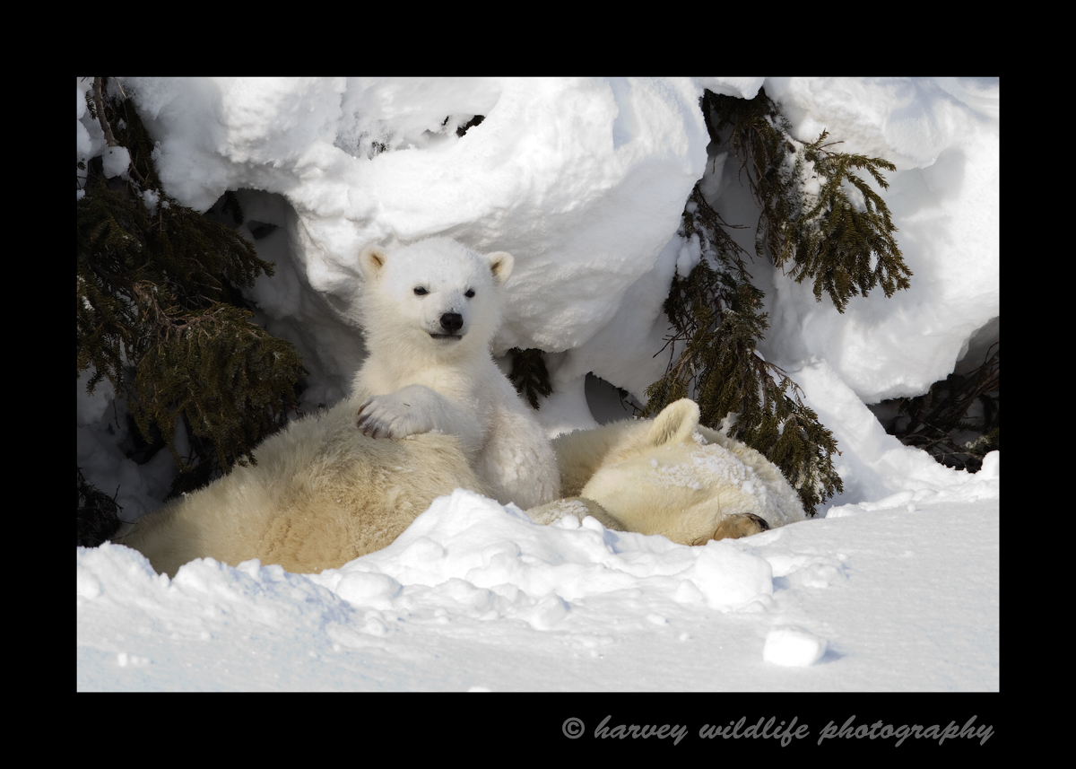 A day den is a somewhat sheltered area that the mother polar bear finds so her and her cubs can rest for a couple hours, several hours or an entire day. If the cubs are tired or a storm comes in, this den provides enough shelter for the bears to stay comfortable. This mother had triplets in this day den.