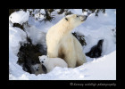 This female polar bear finished her nap in a day den and was coming out to continue on the next leg of her journey to Hudson Bay.