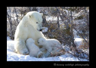 polar-bears-nursing-12