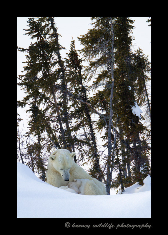 polar-bears-nursing-2011