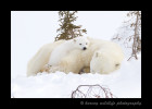This tired little polar bear cub briefly opens her eyes and  gives us a little look, before going back to sleep.