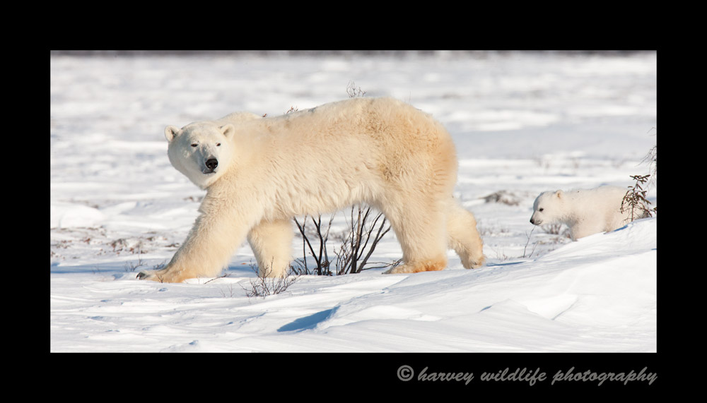 Polar Bears Walking