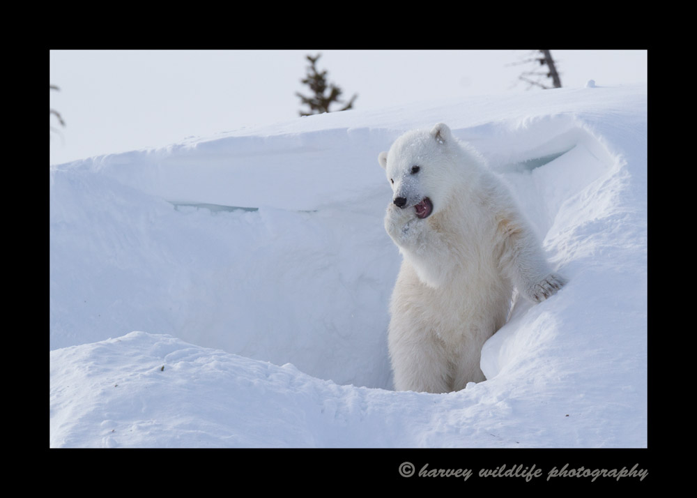 polar_bear_Cub_secret___1