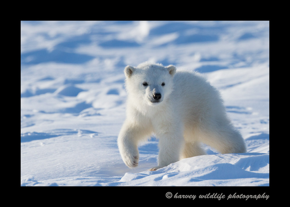 polar_bear_confidence