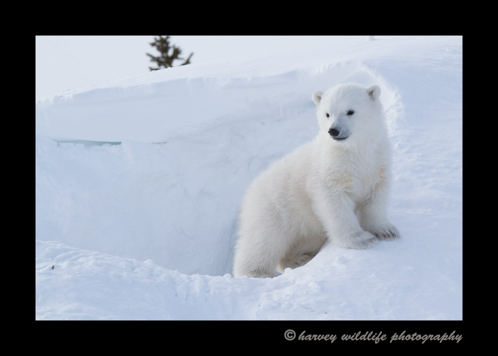 polar_bear_cub_at_den